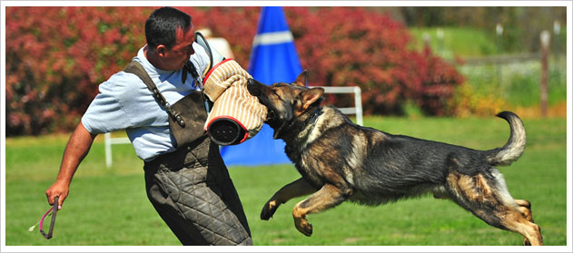 Protection Dogs for Sale include In Home Training
