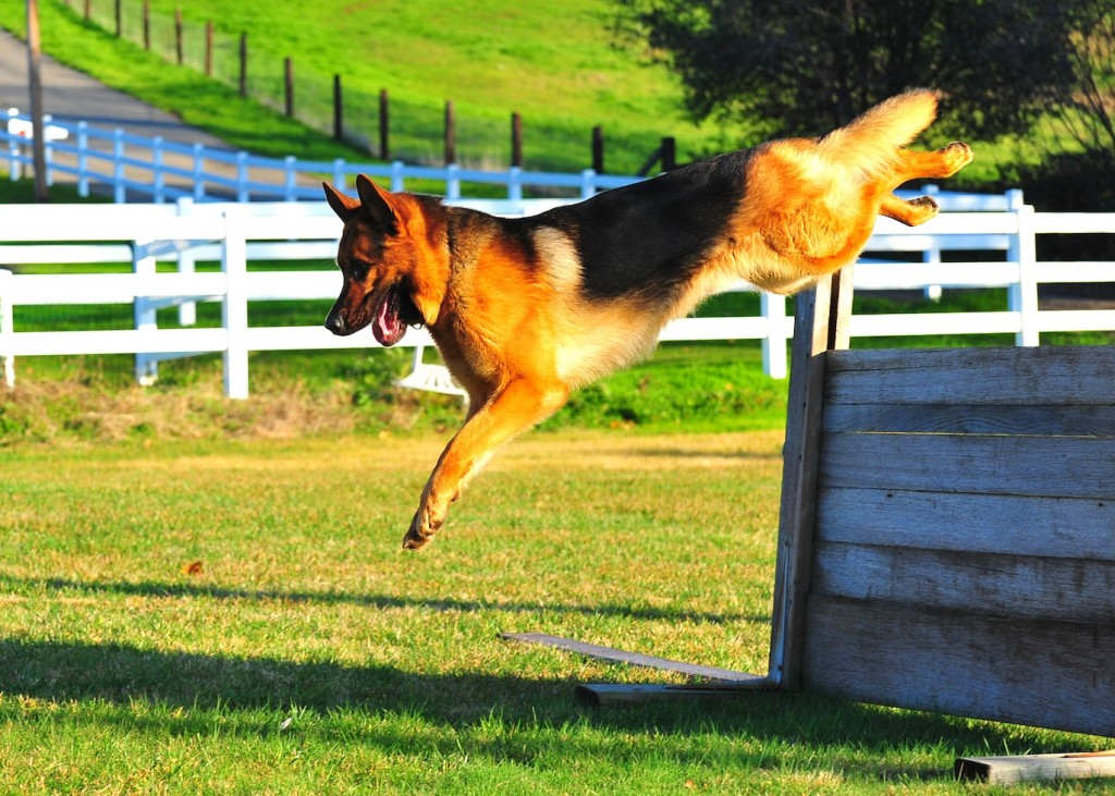 German Shepherd Henrico Jumping Wall