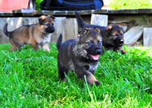 Cute Puppy German Shepherd Protection Dogs