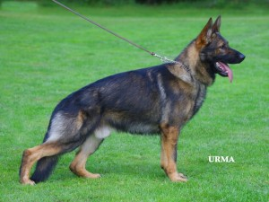German Shepherd Protection Dog - Chrischa
