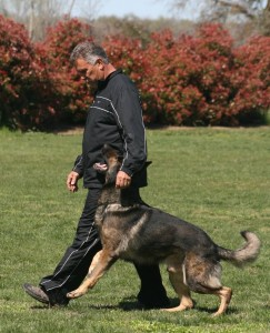 John and Bruno heeling their way to a 96-point obedience score.