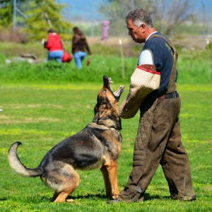 German Shepherd Watchdogs Controlled Dog Aggression