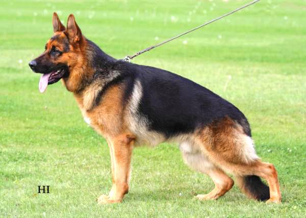 Image result for german shepherd conformation