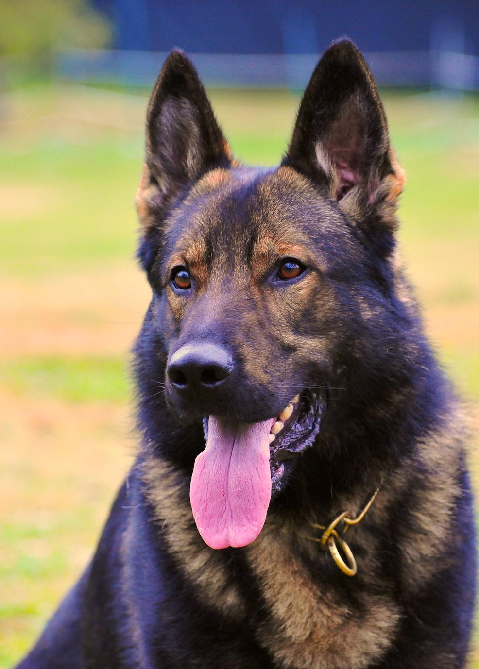German Shepherd Watch Dog for Sale