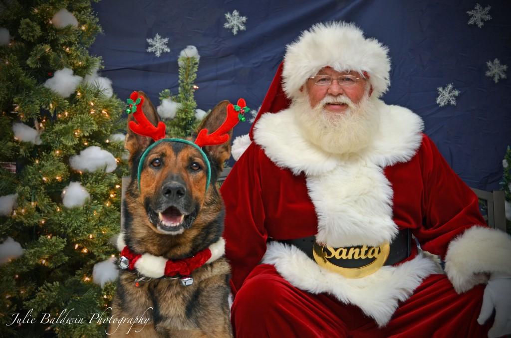 The versatile German Shepherd Dog: companion, protector, and now, one of Santa's reindeer!
