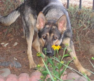 Axelflower1 - German Shepherd Protection Dogs for Sale