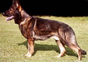German Shepherd Protection Dogs - Executive Trained