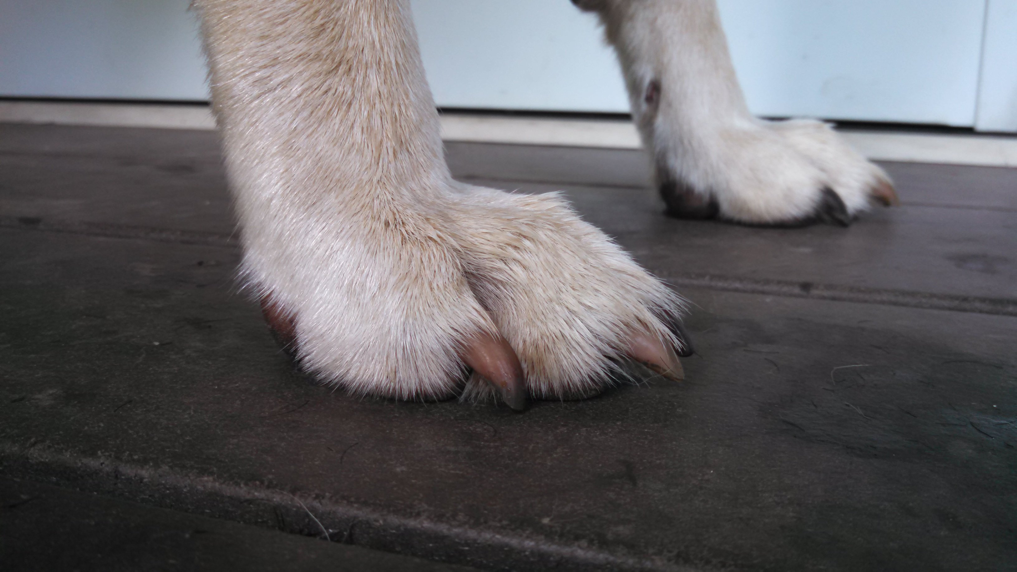 German Shepherd Watch Dogs Nails: How Long is Too Long for Your ...