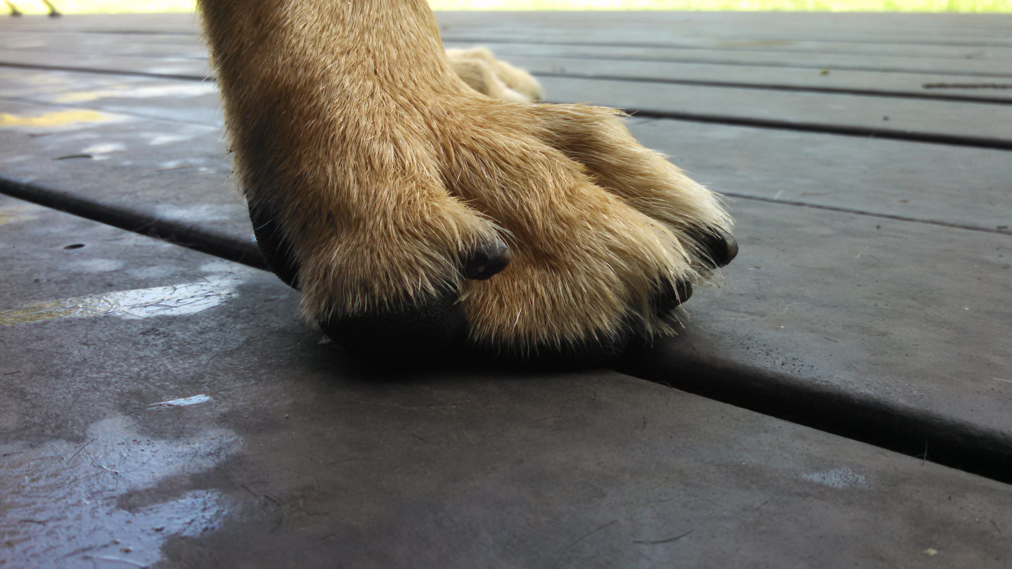 German Shepherd Watch Dogs Nails How Long Is Too Long For