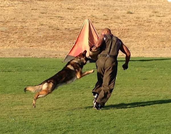 German Shepherd Watch Dogs Dogs for Sale - German Shepherd Watch Dogs