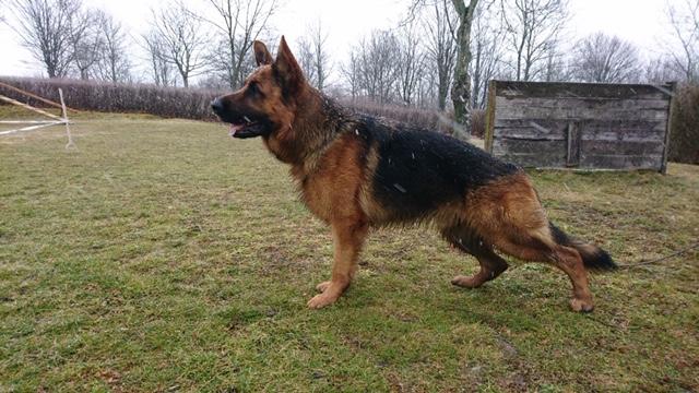 German Shepherd Watch Dogs Dogs for Sale - German Shepherd